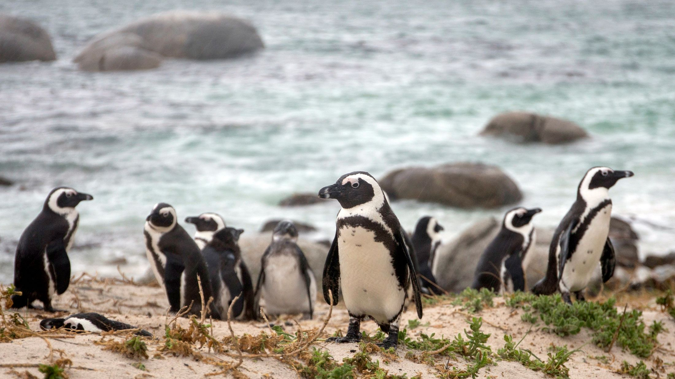 085090_Boulders_Bay_Penguin_Colony_Mlee-South-Africa-2015_028.jpg-Hybris